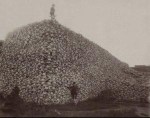 Cattle-Skulls